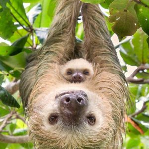 Costa Rica Sloth with baby